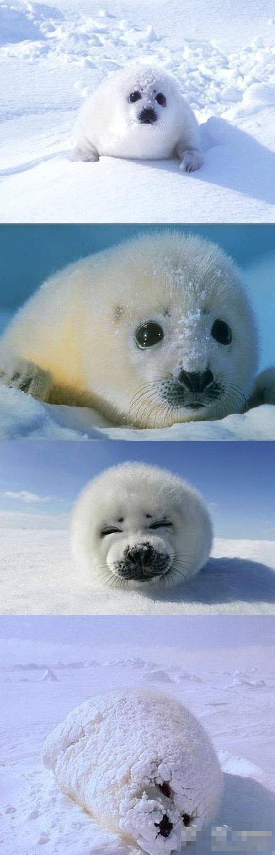 超萌超可爱的小海豹